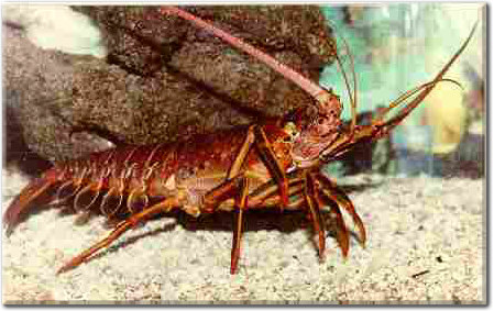 Find information about Florida Keys lobster in this complete Florda Keys web guide.